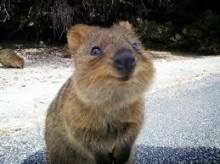 オーストラリア アニマルガイド「世界一幸せな動物~クオッカ」