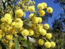 オーストラリアの国花「ゴールデン・ワトル」