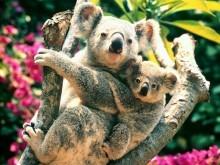 【オーストラリア アニマルガイド】コアラは寝てばかりの美食家?!