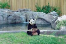 カナダ留学はこんなに楽しい!パンダに会いにToronto Zooへ行ってきました!